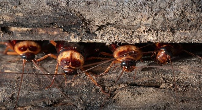 Já baratas e moscas domésticas podem prosperar Baratas e moscas podem proliferar