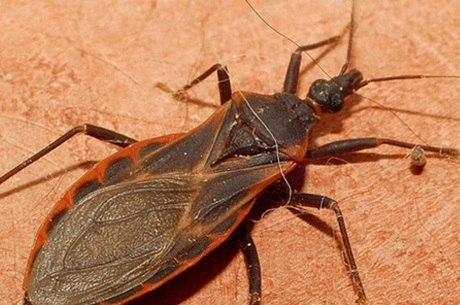 Barbeiro é o inseto que transmite a Chagas