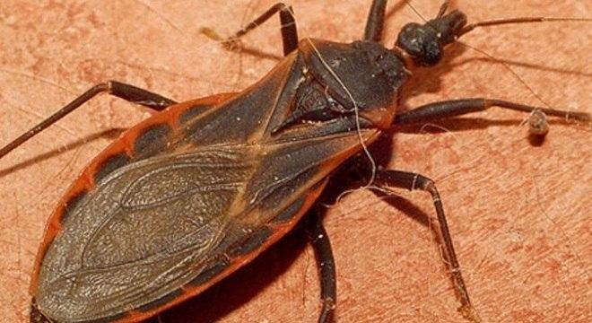 O barbeiro é o mosquito transmissor da doença de Chagas