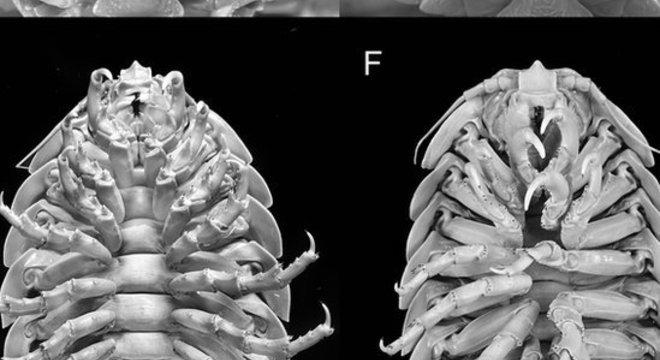 Bathynomus se alimentam de carne de animais mortos que caem no fundo do mar