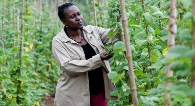 Especialistas em plantas em Uganda estão melhorando os meios de subsistência agrícola no país, introduzindo a agricultores variedades de culturas com melhor resistência à seca e doenças