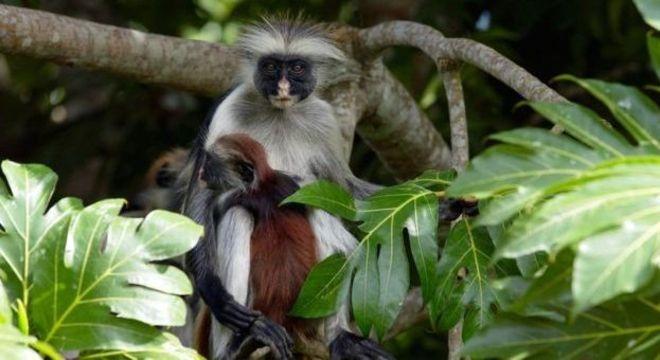 O colobus vermelho de Zanzibar é um dos parentes mais próximos do desaparecido colobus vermelho de Miss Waldron