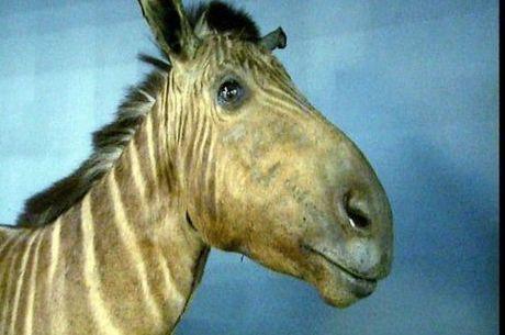 Quaga fêmea que vivia em zoológico de Amsterdã morreu em 1883