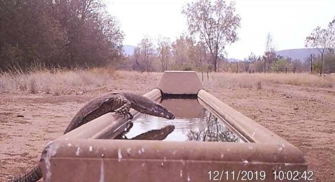Iguana se refresca na Austrália: temperaturas se aproximaram dos 50°C