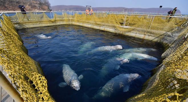 Locais em que as belugas estão sendo mantidas colocam saúde dos animais em risco