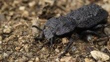 Estudo revela segredo da força de besouro quase indestrutível