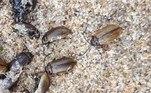 Algumas especulações indicam que tratam-se de besourosLochmaea suturalisVEJA ISSO:Trabalhador fica 7h imóvel de cueca após achar cobra dentro das calças