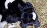 O bezerro da Macedônia nasceu com crânios fundidos, 2 pares de olhos, 2 bocas e um par de orelhas
