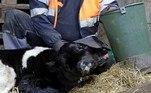 'De manhã cedo, nós ouvimos que a vaca estava preste a dar à luz. Quando isso aconteceu, vimos que o filhote era bem extraordinário, com duas cabeças', revelou o fazendeiroVasko Petrovski