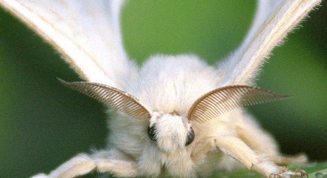 Bicho-da-seda - o que é, como vive e como produz fios de seda