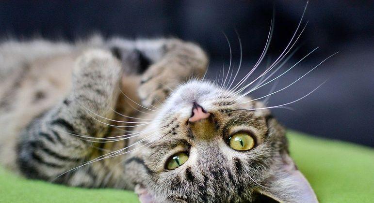 Bigode de gato, o que é? Função, cuidados e curiosidades