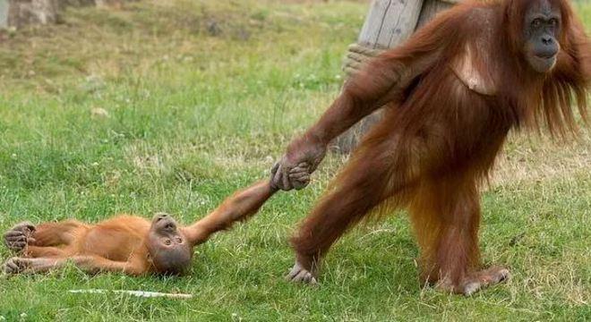 Contrariado, o orangotango Berani se jogou no chão e foi arrastado pela mãe