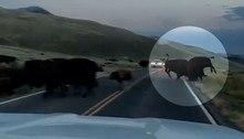 Chega pra lá! Bisão pistola faz rival decolar de estrada após cabeçada