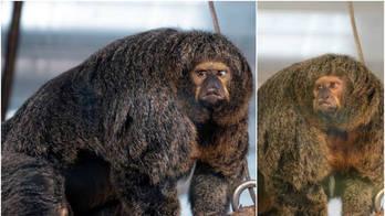É bodybuilding! Macaco 'maromba' impressiona visitantes de zoológico (Montagem/R7)
