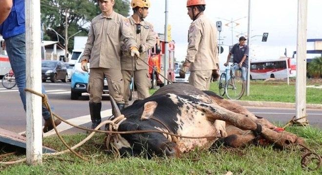 Bombeiros laçam boi que causou confusão em Campo Grande (MS)