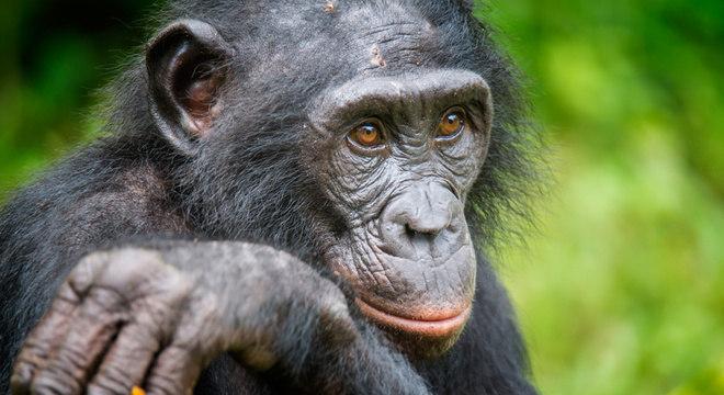 Os bonobos compartilham 98% de seu DNA com humanos Diferenças com as filhas