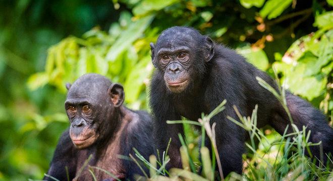As mães bonobo usam diferentes estratégias, como aproximar seus filhos das melhores fêmeas na fase de ovulação