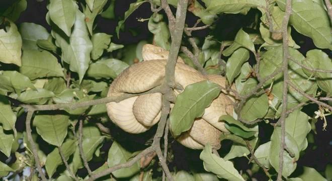 Entre os exemplos de cobras que são excelentes colonizadoras está jararaca comum do sudeste do Brasil