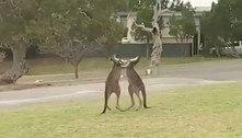 Briga intensa de cangurus assusta e depois alegra família de turistas