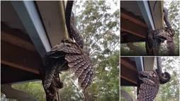 Brutalidade na Natureza! Cobra de 2 m esmaga coruja em ataque aterrorizante (Montagem/R7)
