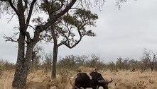 Brutal: búfalo atacado por 9 leoas é salvo pelo resto da manada
