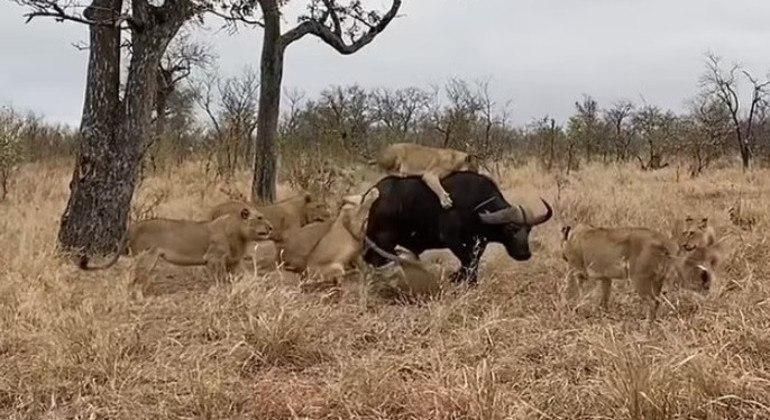 Às vezes, ser o rei da savana não é o bastante