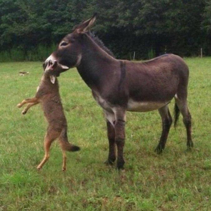 """Eles são chamados de """"burros"""", mas são o terror de predadores"""