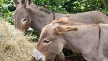 Bolívia estuda soro de plasma de burros para tratar covid