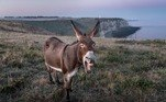Esse é daqueles fatos que simplesmente quebram o que achamos saber sobre a natureza:burros são excelentes pastores, principalmete de ovelhas, e são perseguidores implacáveis de coiotes
