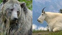 Cabra é suspeita de matar ursa com chifrada em pescoço e axila