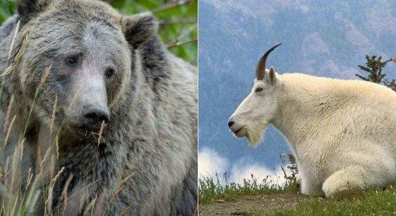 Cabra é suspeita de matar ursa com chifrada no pescoço e na axila, em parque no Canadá
