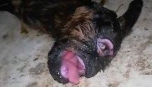 Cabrito ciclope nasce sem focinho e com duas pupilas no olho
