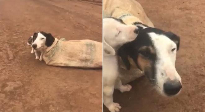Cachorra foi diagnosticada com câncer e os filhotes passam bem