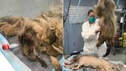 Cachorra é liberta de 'incrível massa fedida de pelos' e unhas de 18 cm (Montagem/R7)