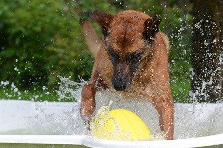Para evitar a dor de ouvido, é preciso secar bem as orelhas do cão após o banho ou brincadeiras na água