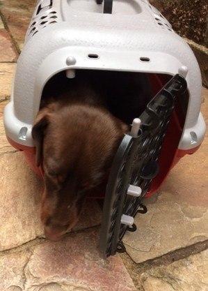 Cão deve viajar na caixinha