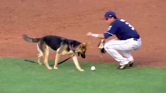 Cachorro invade jogo de beisebol para correr atrás da bola