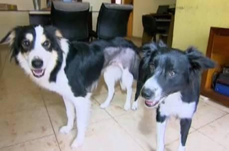 Advogada tem 4 cães da raça border collie