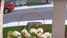 Cachorrinha corajosa salva dona de 10 anos de ataque de coiote