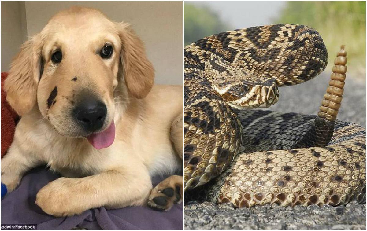 e6361b695e7fa6 ... Todd é um golden retriever que mesmo ainda filhote salvou sua dona de  uma possível morte; O cachorro ...