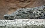 O animal estava na água, se divertindo, quando um crocodilo começou a persegui-lo muito rapidamenteLEIA MAIS:Pescador fisga um raríssimo tubarão de 2 cabeças com olhos deformados