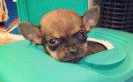 Normalmente, cães como Turbo só podem usar cadeiras de roda após seis meses de vidaLeia mais:Cão com deficiência é rejeitado por família que iria adotá-lo