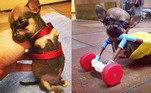 O chihuahua Turbo Roo nasceu sem as duas patinhas dianteiras, mas isso não impediu que o filhote ganhasse o mundo. Veterinários criaram uma cadeira de rodas de brinquedo para que o pequeno pudesse se locomover sozinho. Ver ver essa invenção fofa