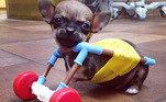 O cãozinho é sucesso nas redes sociais por ostentar essa 'engenhoca' pra lá de adorável