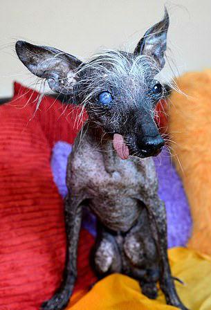 Cachorro Mais Feio Do Mundo Morre E Deixa Web De Coração