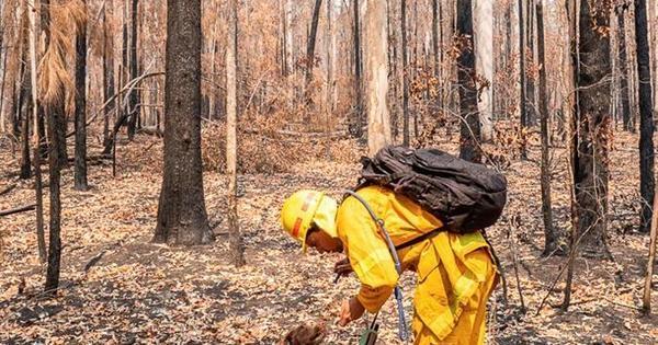 Cão ajuda a resgatar coalas entre os enormes incêndios na Austrália