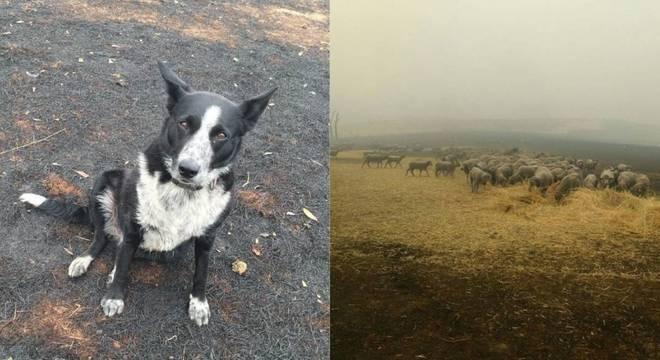 Patsy rapidamente agiu para levar ovelhas para segurança