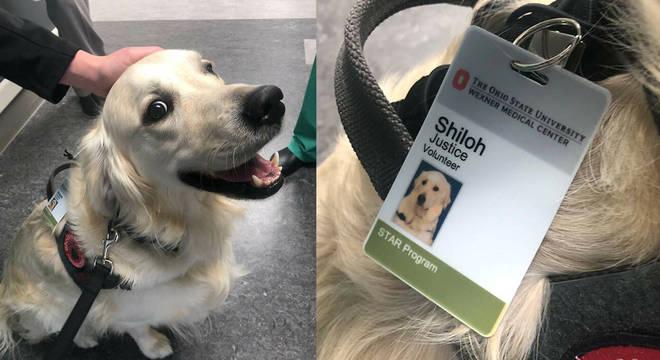 """""""Voluntário da justiça"""", cãozinho Shiloh é o novo membro de hospital em Ohio"""
