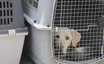 A organização de defesa dos animais Peta fez um apelo solene ao presidente Joe Biden para que repatriasse os cachorros, citando a situação de cerca de 60 cães detectores de explosivos 'sentados em gaiolas na pista do aeroporto' e de outros 60 animais especializados 'trancados em um canil em um galpão do aeroporto, sofrendo calor, sem acesso satisfatório à comida ou água'