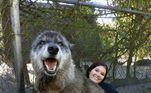 Um péssimo tutor entregou este cão-lobo em um abrigo para eutanásia quando ele se revelou maior do que o esperado. Felizmente, um santuário o levou e salvou sua vida. Após a realização de um teste de DNA, descobriu-se que ele é a mistura de três raças diferentes: 87,5% Lobo Cinzento, 8,6% Husky Siberiano e 3,9% Pastor Alemão, o que certamente contribuiu para seu tamanho expressivo